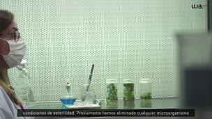 Cultivo de plantas in vitro